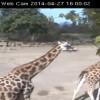 İrlanda Dublin Hayvanat Bahçesi (zürafa zebra) Canlı izle