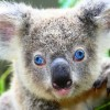 Amerika San Diego Hayvanat Bahçesi Canlı izle (Koala)